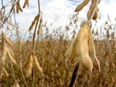 soy-bean-field